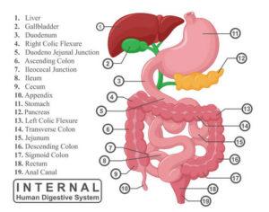 Что собой представляет желудочно-кишечный тракт